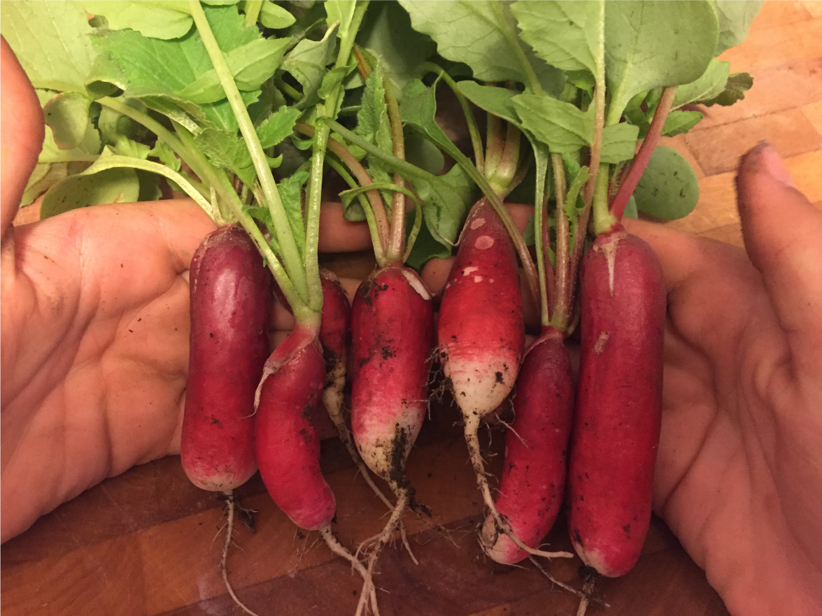 a handful of radishes freshly plucked from the earth